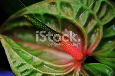 Anthurium flower Royalty Free Stock Photo