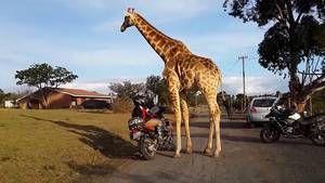Partis en balade en Afrique du sud, ces motards ne s'attendaient certainement pas à faire une telle rencontre