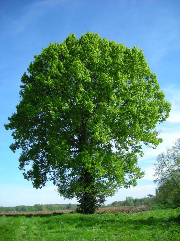 Les attributs de Zeus : le chêne.