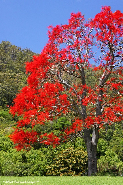 Brachychiton acerifolius - Illawarra Flame Tree - © All Rights Reserved - Black Diamond Images