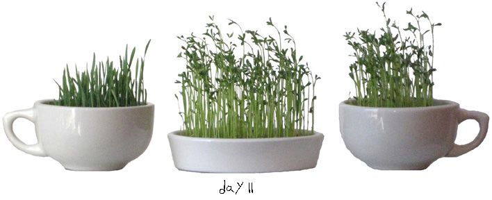 How to grow your own Sabze for Norooz. (Persian New Year) #Haft Seen