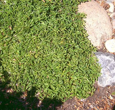 Not just for pizza anymore. Ground cover Oreganos could be the answer to your bare space woes.
