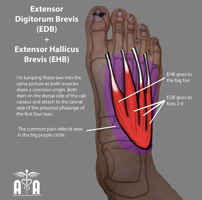 Little toe anatomy