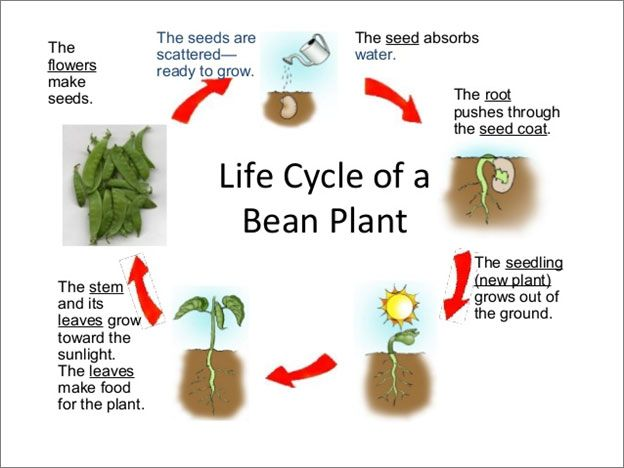 Life cycle of a bean plant. Science lesson for grade 1. A ...