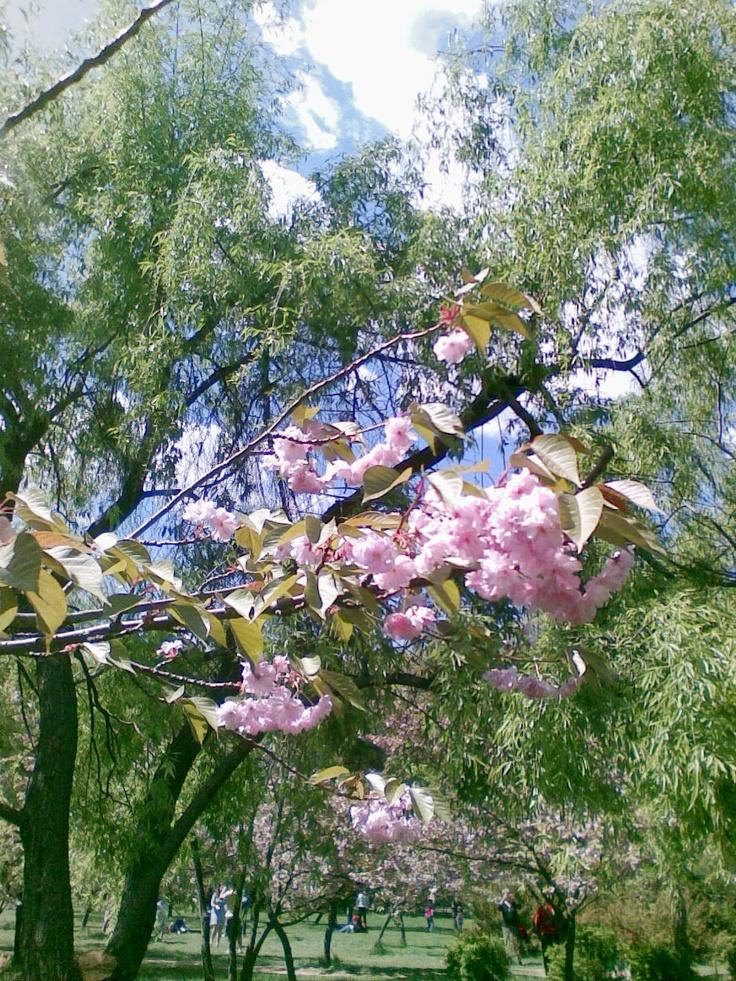 Ce visam astă-iarnă?   Ram cu flori de cireș într-o grădină japoneză.