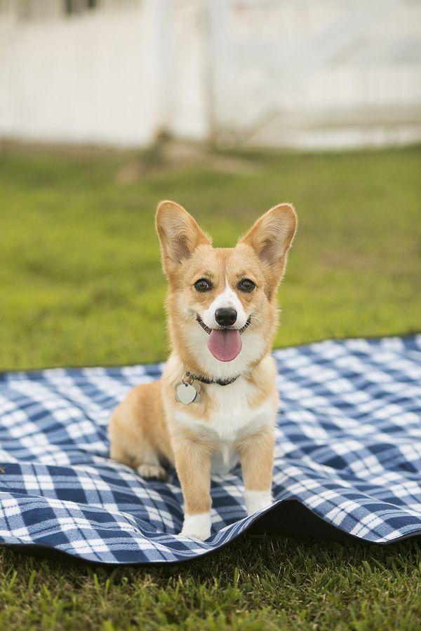 Happy Tails Chloe The Pembroke Welsh Corgi Puppy Love