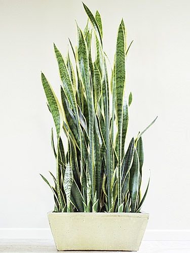 "Snake plant ""Snake plant, also known as mother-in-law's tongue, can literally survive in a closet—that's how little light it needs,"" says Juliette Vass, owner of online plant stores My City Plants and Orchid Diva. The leaves' deep green centers and light yellow edges go a long way toward livening up an otherwise plain room."