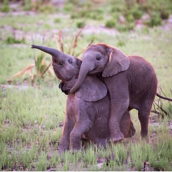Время порезвиться!   Дельта реки Окаванго, Ботсвана