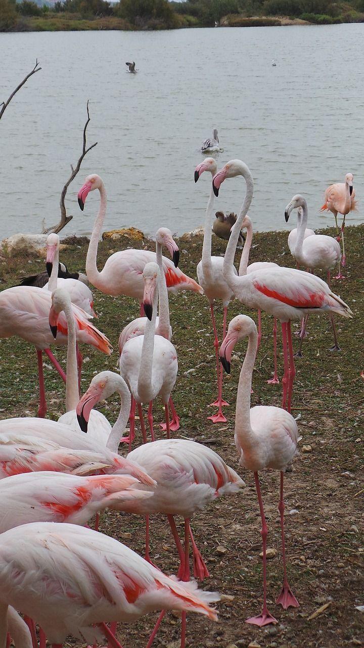 Flamant Rose, Réserve Africaine, Sigean, Zoo, Oiseaux