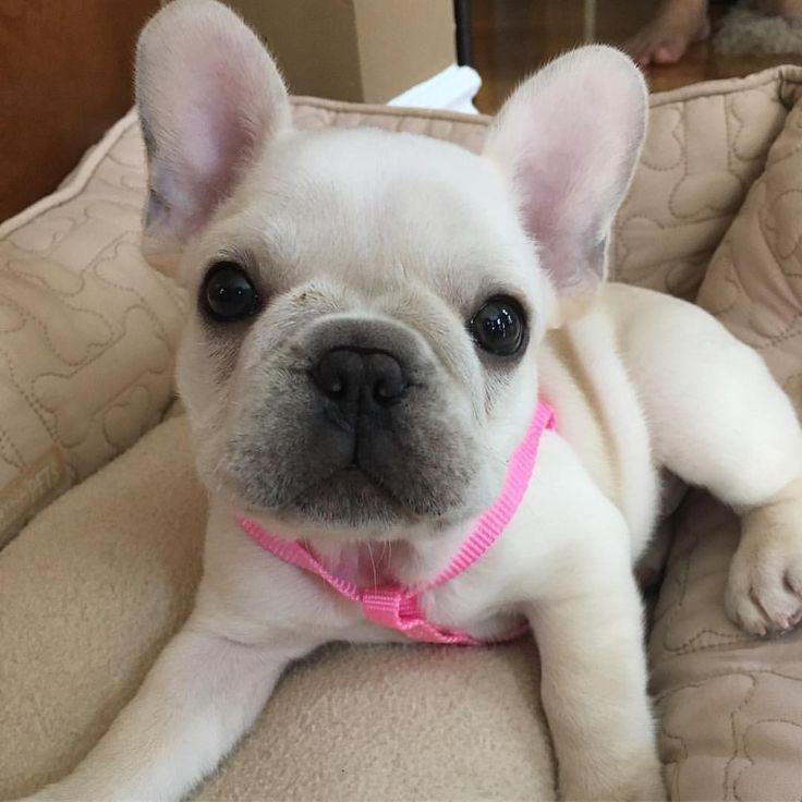 Cute French Bulldog Puppy                                                                                                                                                                                 More