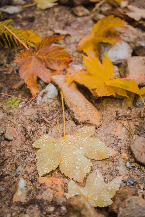Raindrops on fallen maple leaf. Typical autumn colors with