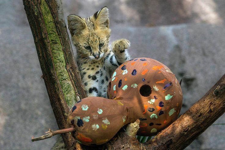 Un serval de deux mois a été présenté aux visiteurs du zoo de Saint Diego le 17 juillet