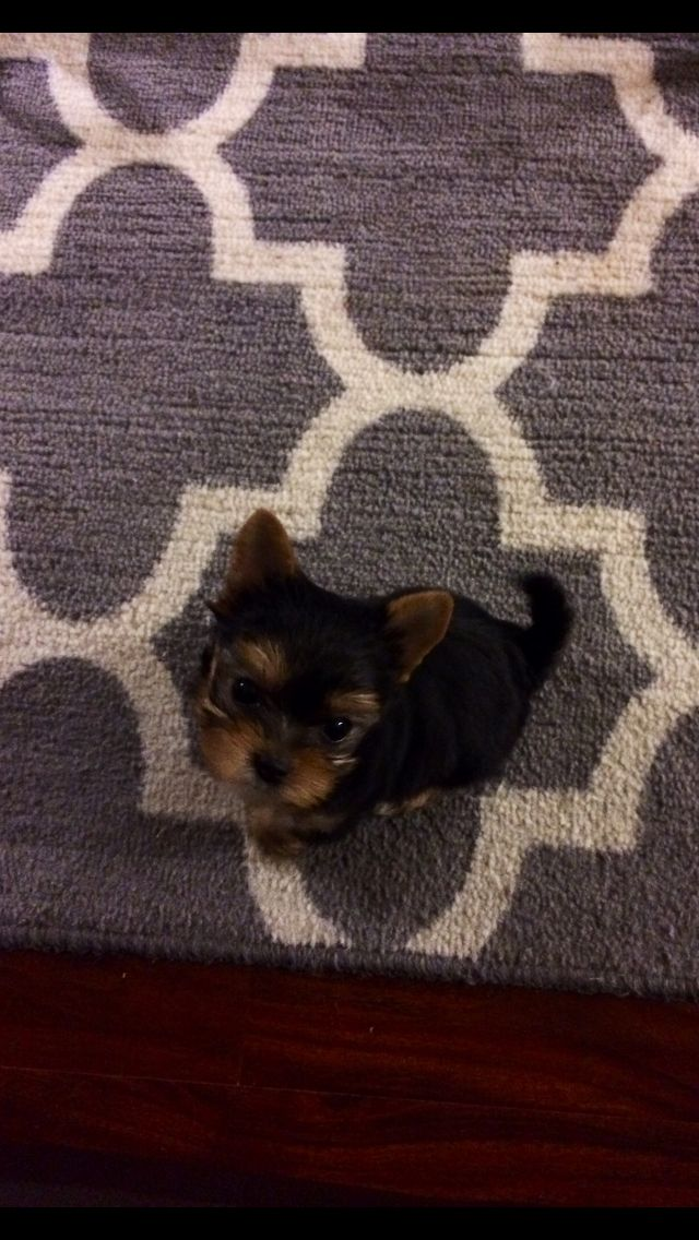 Yorkie puppy Snickers!!