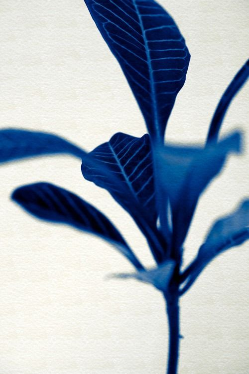 stanford-photography: Euphorbia leuconeura - Tones Of Blues On Paper