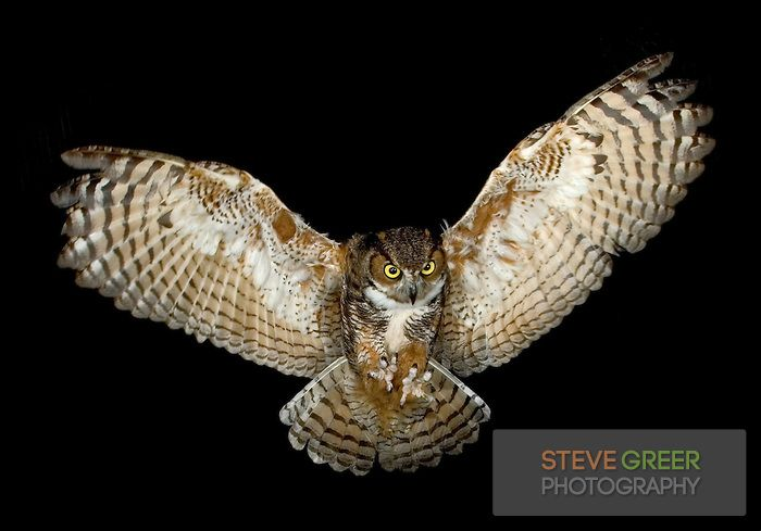 Great Horned Owl  in flight  New Jersey  By the way I love owls and    Flying Horned Owl Tattoo