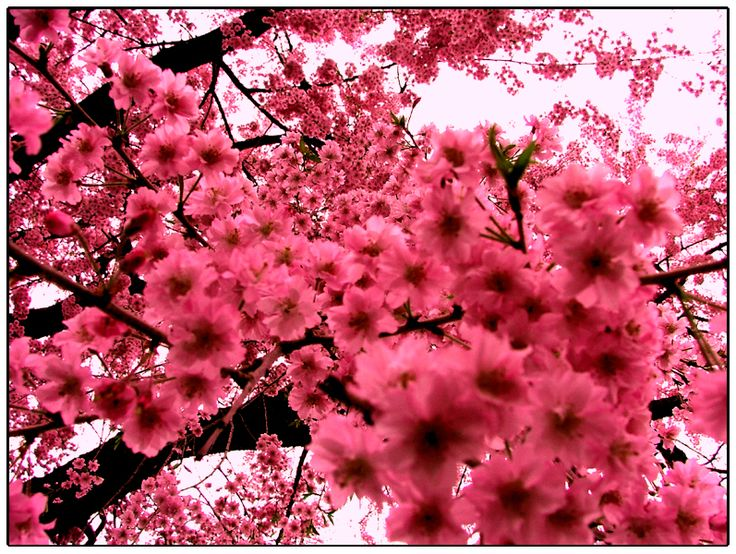 Pink flowers: Picture, Pink Flowers, Nature, Pink Blossom, Color, Trees, Beautiful Flowers, Cherries, Cherry Blossoms