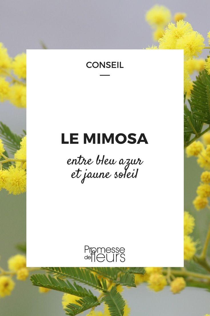Que Faire Au Jardin En Janvier mimosa, acacia : entre bleu azur et jaune soleil. | jardin