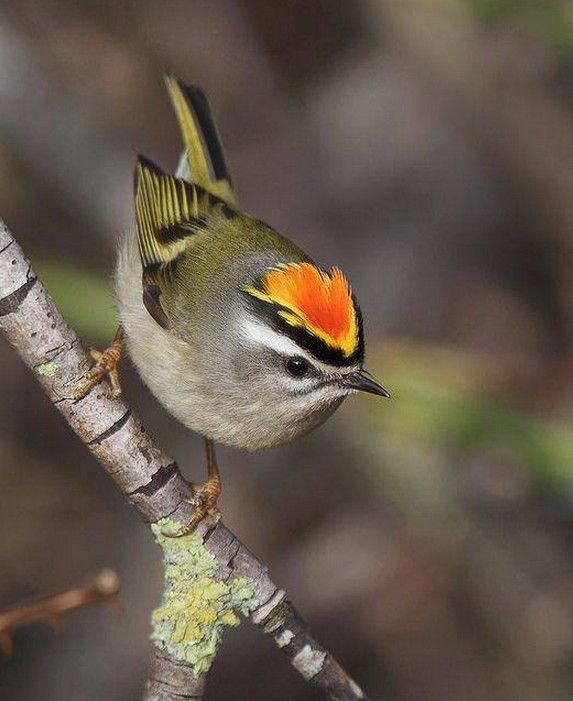 Golden-crowned Kinglet Saw a pair of these @ Karen Aroh's home yesterday. Sooo cute sweet!