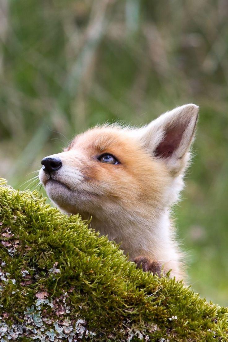 Fox stare by Menno Schaefer