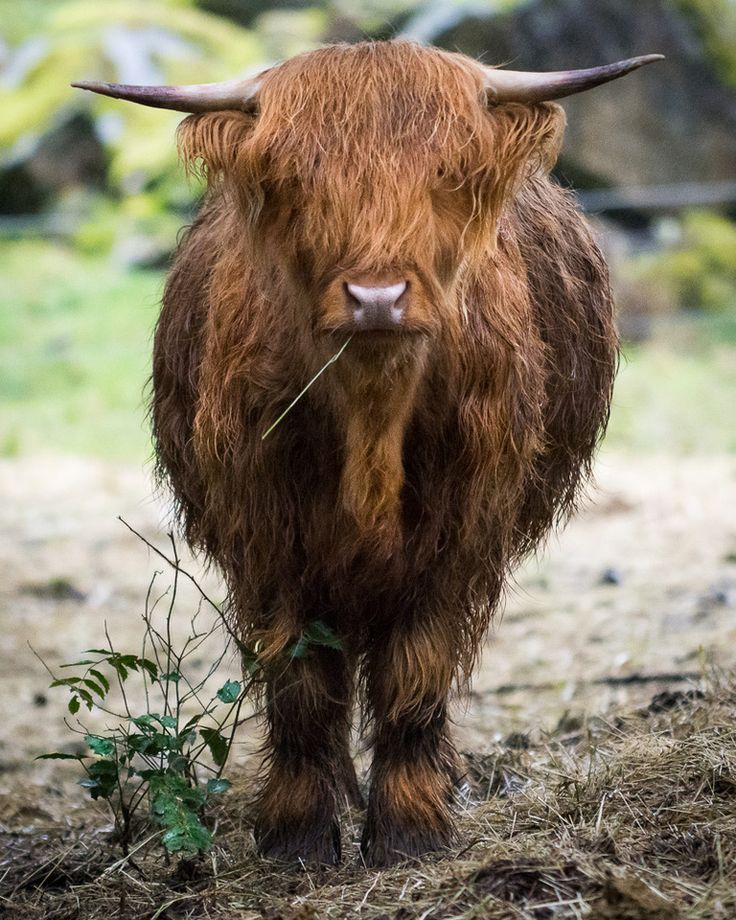 Scottish Highland Cattle in Victoria #YYJ