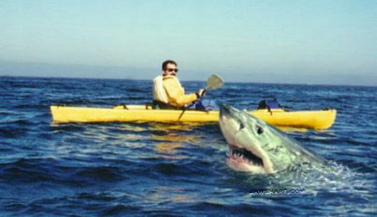 Great White Shark Attacks On Humans   Sharks Attacking Humans