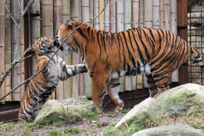 Sjældne tigerunge dør i Aalborg Zoo