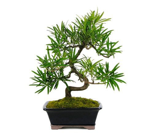 The amazing PODOCARPUS BONSAI TREE for sale adds spice to your home or office if you are in need of a unique decoration. This bonsai tree also make a great gift idea for Christmas, Mother's Day, or a birthday. See more bonsai trees for sale at www.nurserytreewholesalers.com!