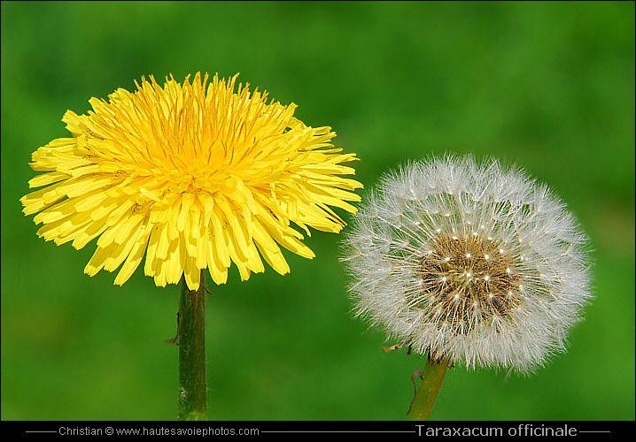 Pissenlit ou Dandelion - Taraxacum officinale