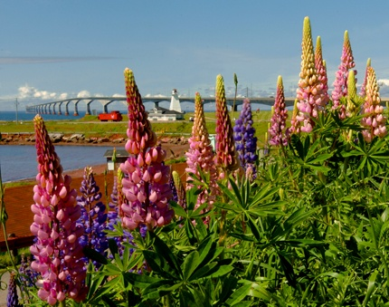 Lupins! ♥ PEI, Prince Edward Island, Canada