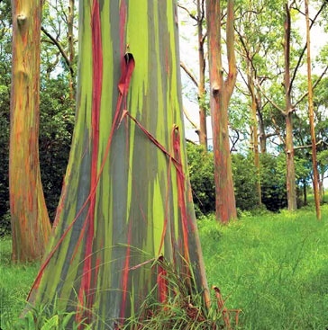 Rainbow Eucalyptus is a natural colorful tree.: eucalyptus deglupta.