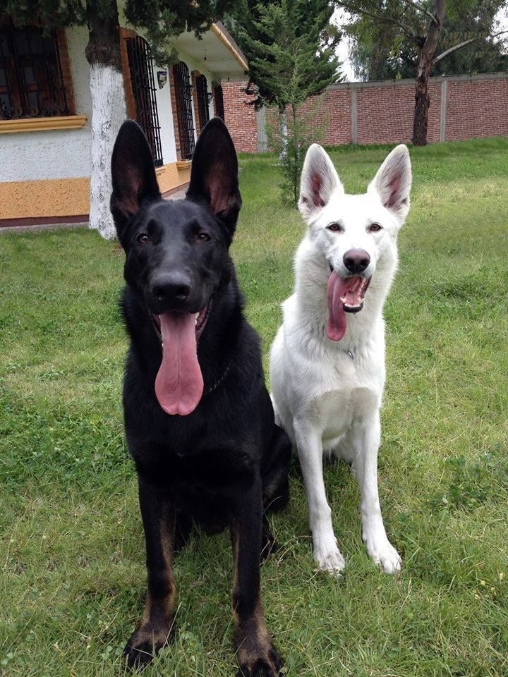 Black and White German Shepherds. Apparently Miley isn't the only one with a crazy tongue!