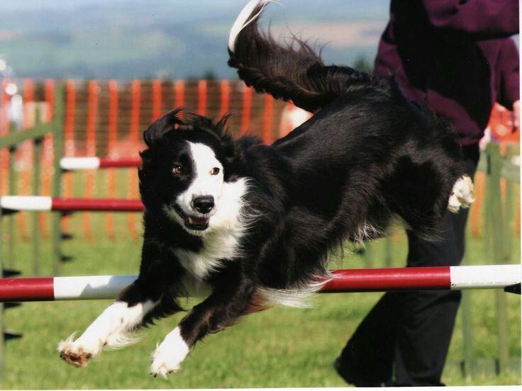 Border collie doing agility