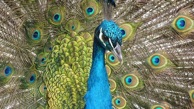 Fantastic close up of a colorful Indian Peafowl displaying its impressive tail feathers.