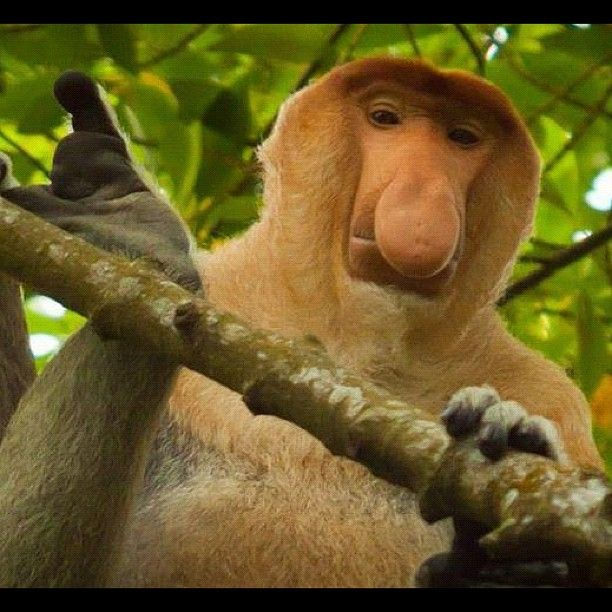 Bekantan at a Conservation Forest in Tarakan, East Kalimantan, INDONESIA. Photo by: Paulus Maruli - @midorinochi- #webstagram