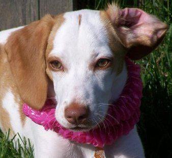 Best 25+ Lemon beagle ...