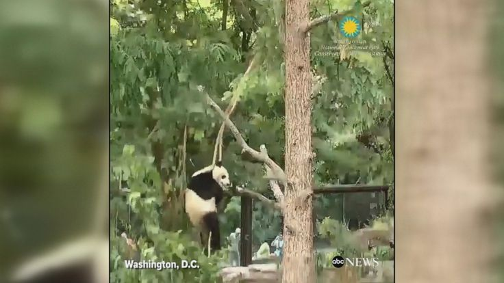 This is how nearly 2-year-old giant panda named Bei Bei spends summer Fridays at the Smithsonian National Zoo.