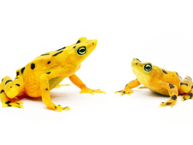 The Race to Protect Frogs from a Deadly Pathogen Gets a Much-Needed Boost   At the Smithsonian   Smithsonian