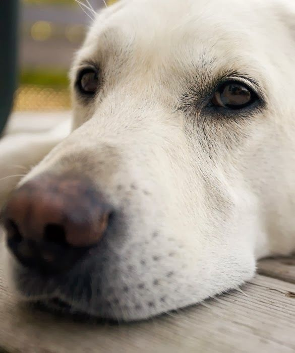 Top 5 Family Friendly Dog Breeds :)