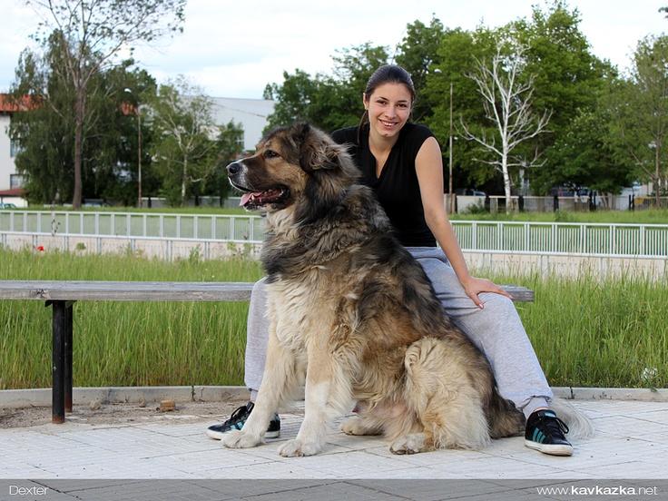 Caucasian Shepherd dog | Кавказка овчарка http://kavkazka ...