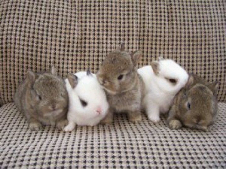 Netherland Dwarf Bunnies | Cute Animals | Pinterest