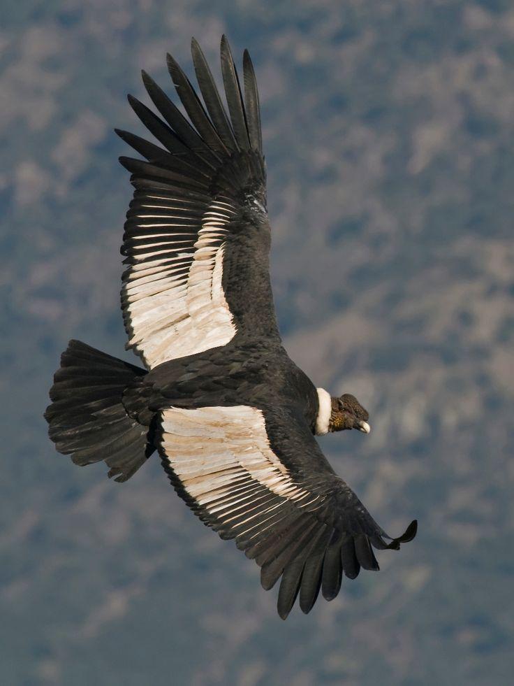 Cóndor andino (Vultur gryphus) Río Colorado (Región Metropolitana)