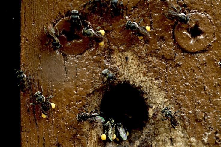 A #Tetragonula hive by Adrian Lewis