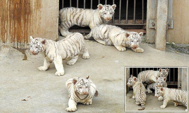Adorable video of a nursery for precious baby white tigers