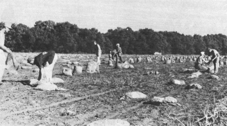 """A photo of German POWs working on the Paul Horn Farm in Clay County, MN, in 1944 or 1945. The image's caption reads:   German prisoners of war from the U.S. Army's POW camp at Algona, Iowa, were brought to Moorhead to work on Clay County farms during World War II. Here several of the men harvest carrots in a field owned by Paul Horn Farms, Inc. (Note the large letter """"P"""" of the POW insignia on the back of the jacket of the man in the left foreground)"""