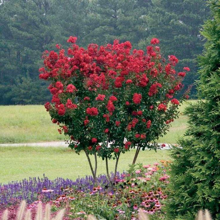 Myrte de crête avec des fleurs rouges