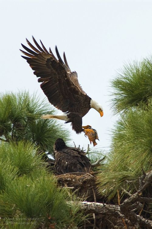 Bald Eagle Mom with Air Express Fish in Cape Coral
