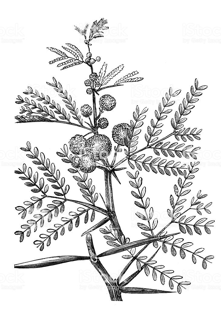 Delicate Acacia Leaf Drawing Google Search Leaf Drawing Botanical Prints Drawings