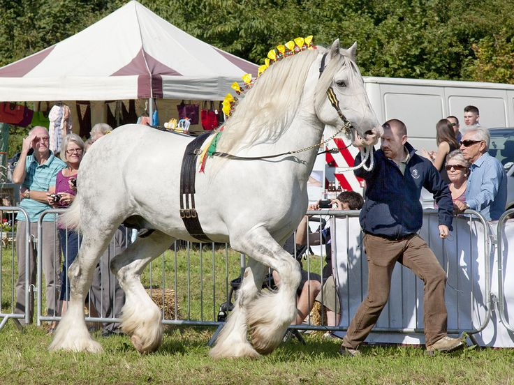 SHIRE HORSES  Images from Shire Horse National Show The Shire Horse Society