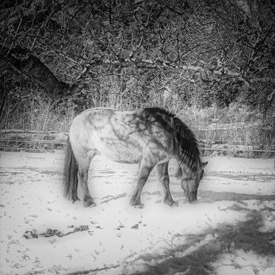 bwstock.photography - photo | free download black and white photos  //  #winter #pony #horse