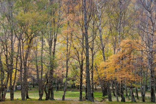 Bosque de bétulas na Serra da Estrela